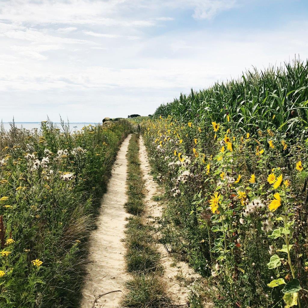 Sonnenblumen, Maisfeld, Steilküste, Schönhagen, Ostsee