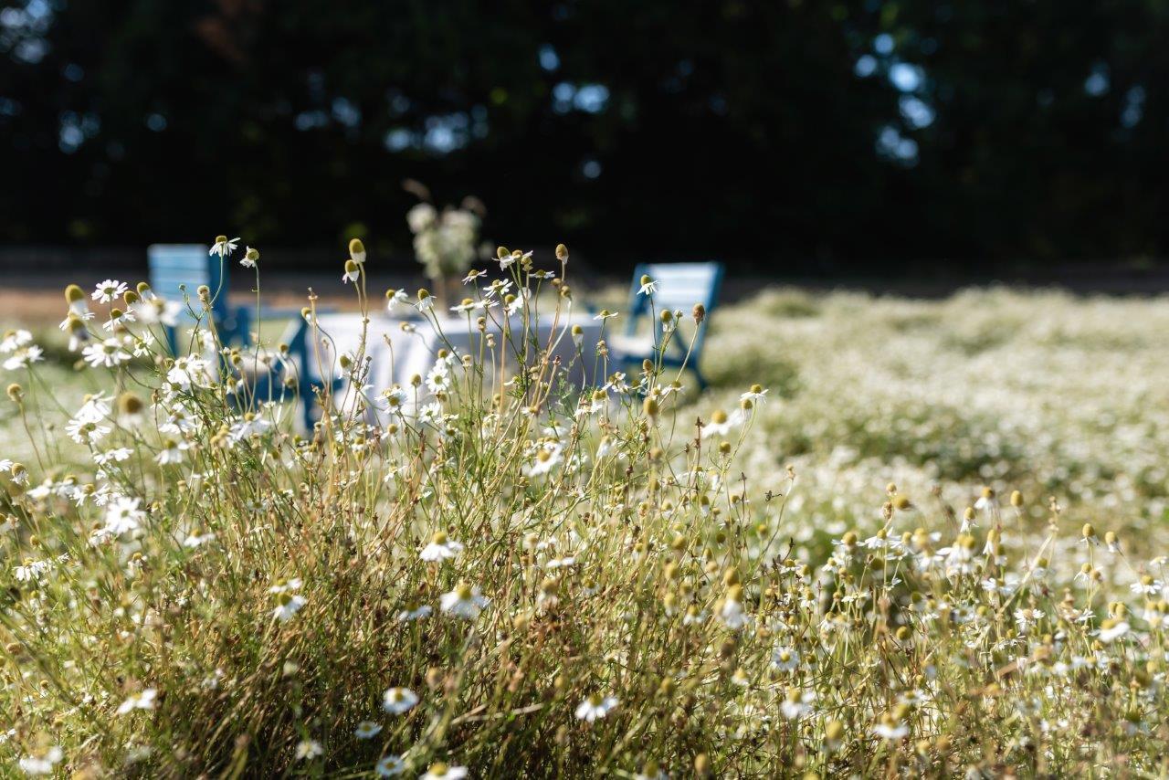 Kamillenblüten, Picknick im Kornfeld, Ostsee